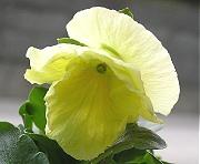 パンジー:レモンイエローの花の開花