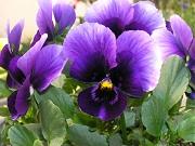 バンジー:次々と開花