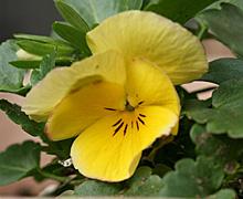 パンジー:クリームイエローの花が咲いた