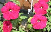 2年目のペチュニアの開花状況