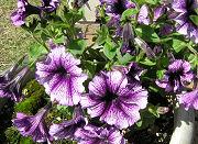 ペチュニア:越冬させたペチュニアは開花が早いね