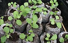 ペチュニア:本葉が増えてきた