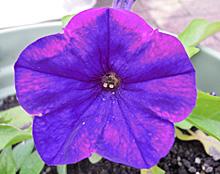 ペチュニア:紫色の花の開花(クリーピア)