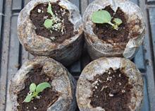 ペチュニア:苗の食害