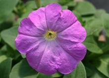 ペチュニア:薄紫色の花