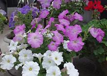 ペチュニア:次々と花を咲かせるパステルカラー