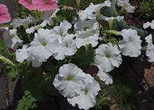 盛夏にも花が咲き続けるペチュニア