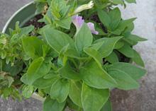 ペチュニア:秋に新たに展開した芽に花が咲いた