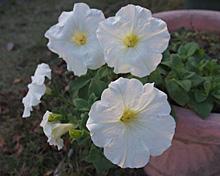 ペチュニア:12月の花