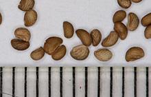 ポテンティラ ファイアーボールの種子