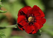 ポテンティラ:開花