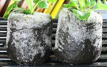 プリムラ・ポリアンサを定植しました