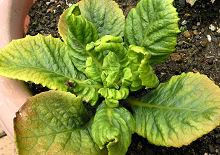ハーレクイン 2009年栽培 葉の褐変