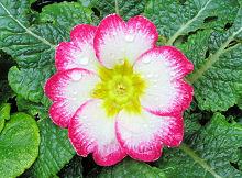 プリムラ・ポリアンサ:ピンクの縁の花の開花
