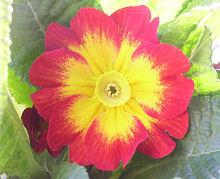 プリムラ・ポリアンサ:中心が黄色い花の開花