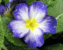 プリムラ・ポリアンサ:青紫色の花が咲きました