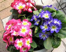 プリムラ・ポリアンサ:開花最盛期