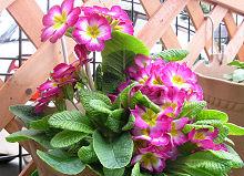プリムラ・ポリアンサ:花梗が伸びてきました