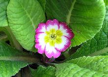 プリムラ・ポリアンサ:初夏の花の開花