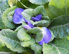 プリムラ・ポリアンサ:真冬の花