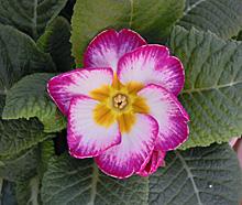 プリムラ・ポリアンサ:紫色に続いてピンク色の花が開花