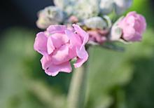 プリムラ・マラコイデス:開花