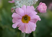 マラコイデスの花