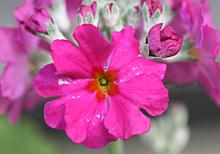 プリムラ・マラコイデス:赤紫色の花の開花