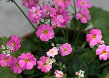 プリムラ・マラコイデス:新しい花の開花