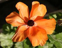 ラナンキュラス オレンジシェードのオレンジ色の花