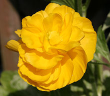 イエローシェード カップ咲きの花