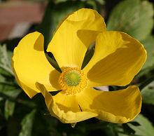 イエローシェード シングル咲きの花