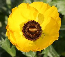 イエローシェード シングル咲きとカップ咲きの中間の花