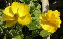ひとつの株でも花の形が違うラナンキュラス