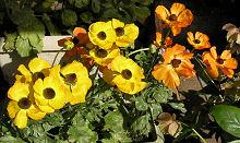 ラナンキュラス:開花最盛期