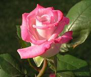 バラ:ハイブリッドディー レッドムーンの開花