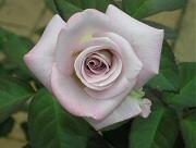 バラ:レッドムーンの3番花
