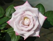 レッドムーン:5番花の開花