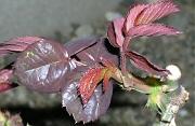バラ:新葉の展開
