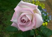 レッドムーンの2番花が開花