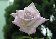 バラ:レッドムーン3番花の開花