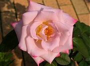 バラ:レッドムーン4番花の開花