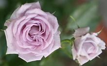 ミニバラ「薔薇の海」の花