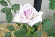 バラ:二番花の開花