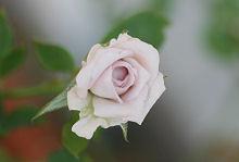 バラ:三番花の開花