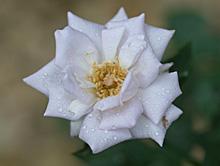 バラ;薔薇:4番花の開花が始まった薔薇の海