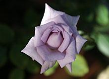 薔薇の海は5番花が咲いています