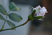 バラ:真冬のつぼみ