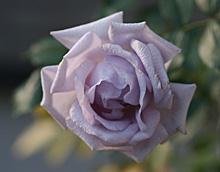 バラ:真冬の花