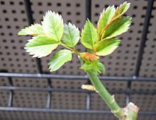 バラ:新芽 2011
